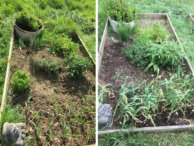 A photo of herb beds, six weeks apart, with mint, rosemary, thyme, sage, garlic, and parsley.