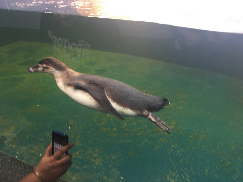 A look at one of the penguins at Sealife Adventure Southend