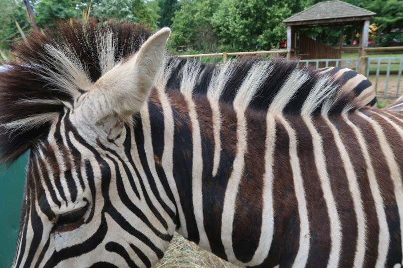 Tea with the tigers - A close up look at a zebra