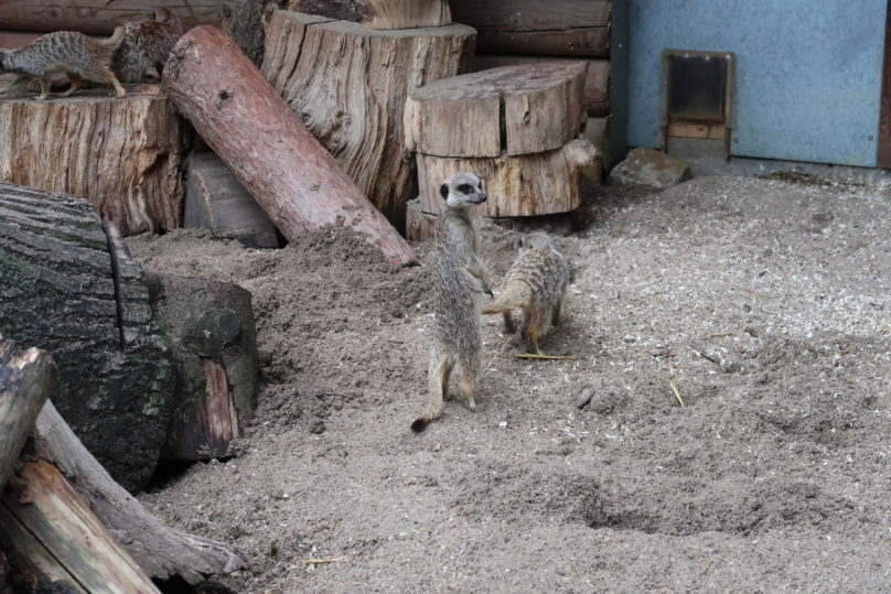 Tea with the tigers - A look at the meerkats