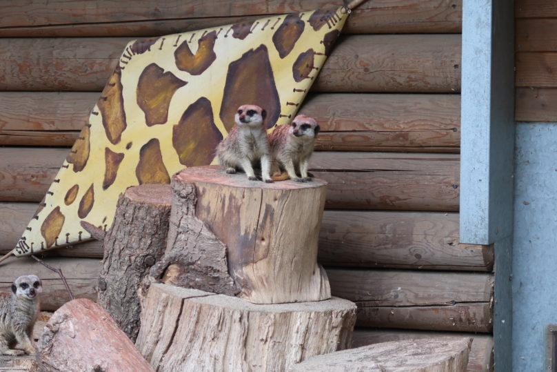 Tea with the tigers - Meerkats