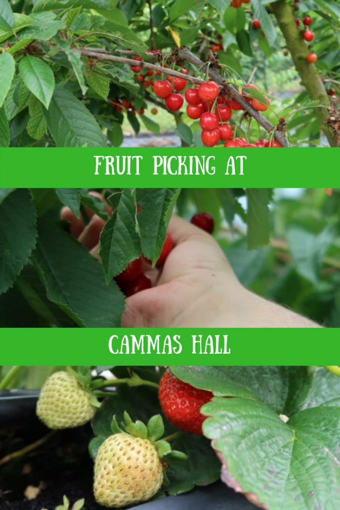 Cherries and strawberries being picked at Cammas Hall