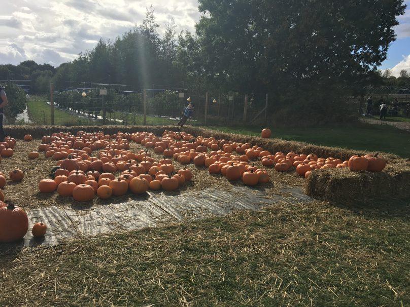 Pumpkin picking at Cammas Hall