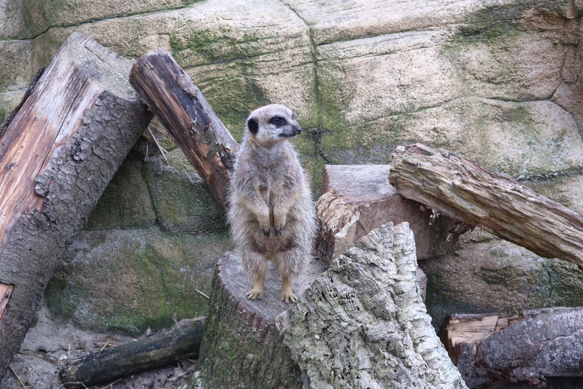Meerkats at Paradise Wildlife Park