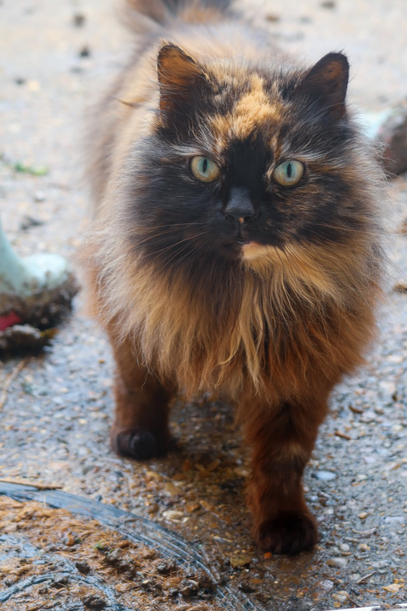 A brown multi-coloured cat outside looking at the camera