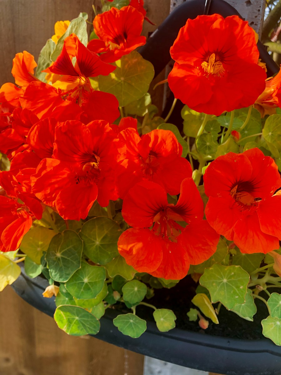 Nasturtiums that I grew in my garden